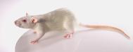 Rat Models (Customized)