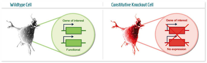 Infographic: Conventional Knockout mouse model
