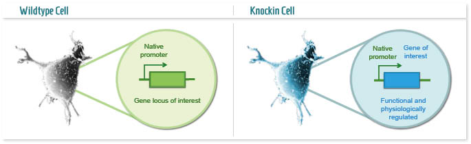 Infographic: Conventional Knockin cell model