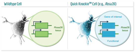 Infographic: Permissive locus Knockin cell model