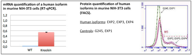 mRNA and protein quantification of human isoforms in murine cells by PCR and FACS