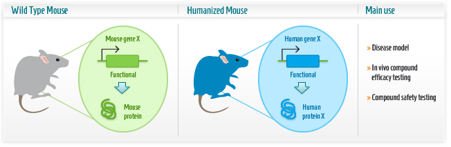 Infographic: Humanized mouse model
