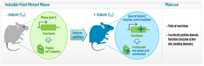 Infographic: Inducible point mutation mouse