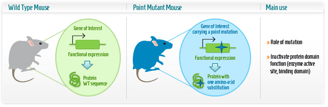 Infographic: Point mutation mouse model