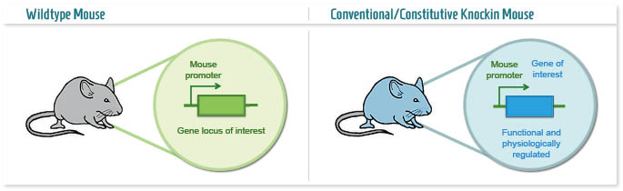 Infographic: Conventional Knockin mouse model