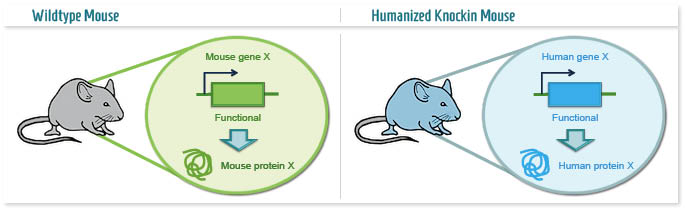 Infographic: Humanized Knockin mouse model