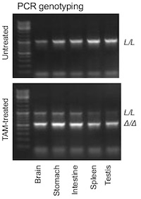 Figure 1b - Alkbh4L/L mice
