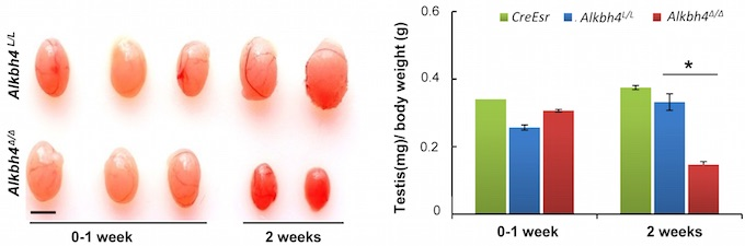 Figure 2 - Alkbh4L/L mice