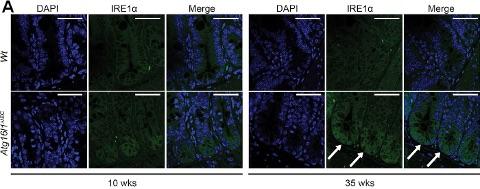 Figure 2a - Atg16l1ΔIEC mice