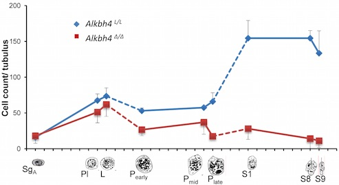Figure 3c - Alkbh4L/L mice