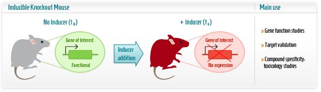 Infographic: Inducible Knockout mouse model