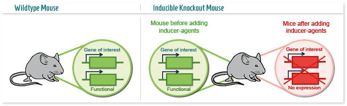 Infographic: Time-dependent Knockout mouse model