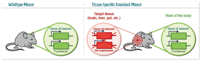 Infographic: Tissue-specific Knockout mouse model