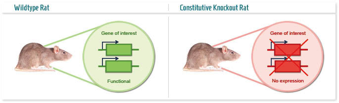 Infographic: Conventional Knockout rat model