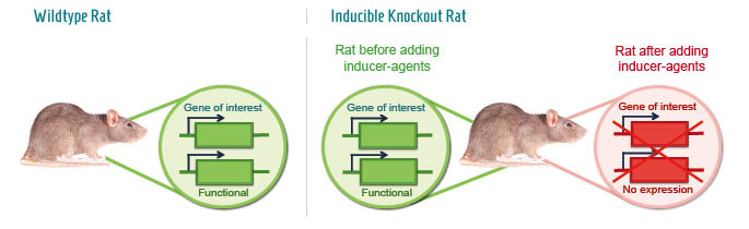 Infographic: Time-dependent Knockout rat model