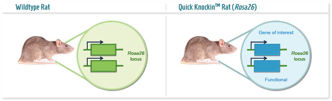 Infographic: Permissive locus Knockin rat model