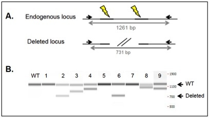 large deletion by CRISPR-Cas9