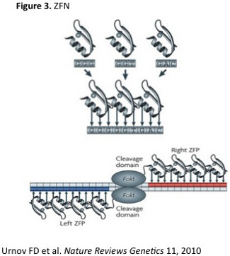 Zinc-Fnger-Nuclease structure