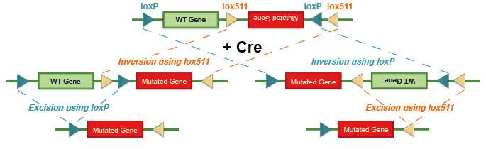 FLEx: cre-lox system
