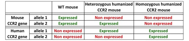 CCR2 expression in humanized mice