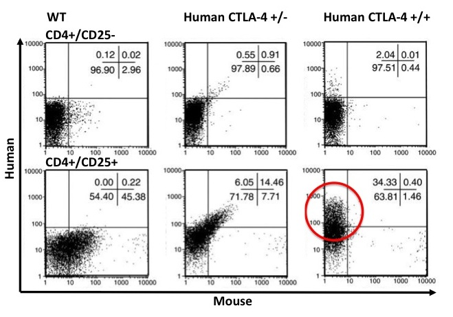 T-cell activation inhibition by CTLA-4 in humanized mice