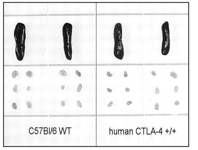 lymphoid development in CTLA-4 humanized mice