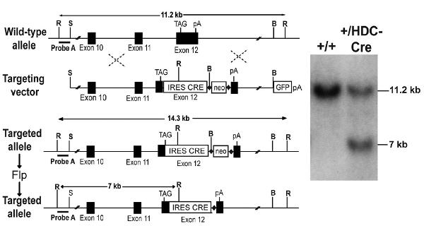 Figure 2 - IRES: tissue-specific Cre driver